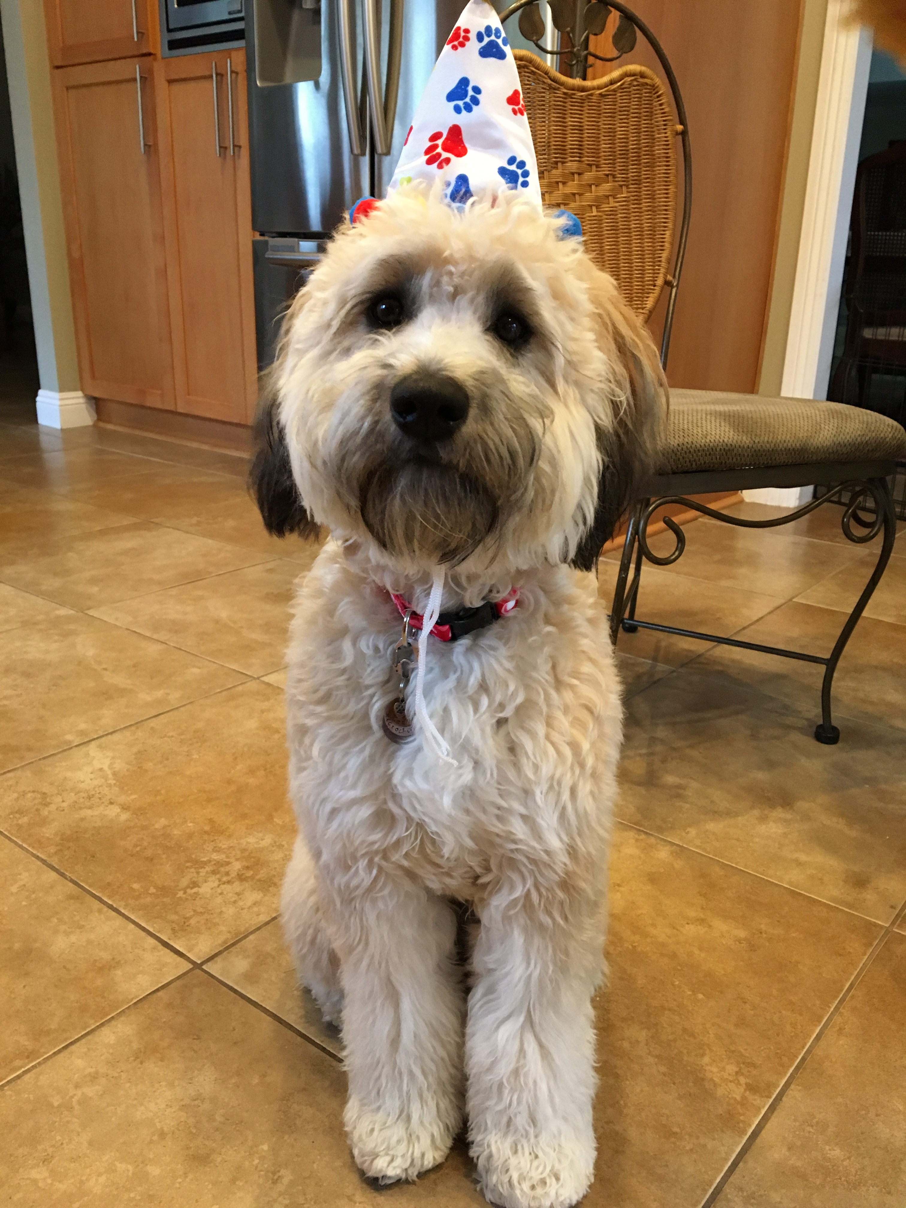 Standard Whoodle Kona Who Is A Therapy Dog For Nursing
